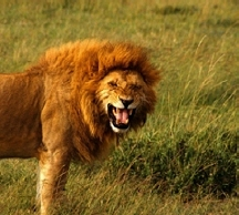 Roaring maned lion on the savanna