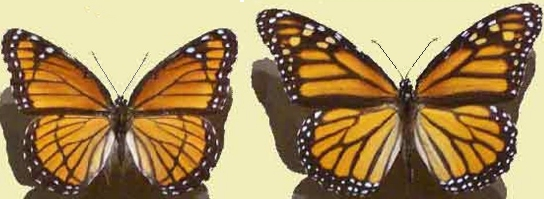 Butterflies, Viceroy & Monarch