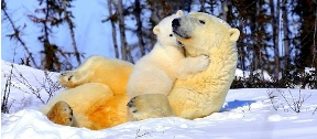 White baby cub hugging orangy mama bear in the snow