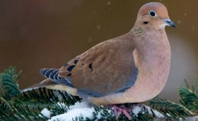 Mourning dove on snowy evergreen