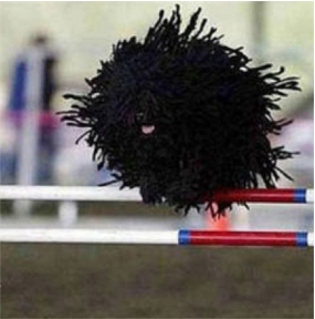 Black, corded Puli jumping over an obstacle