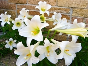 Healthy Easter lilies