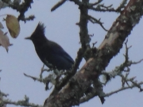 Black-crested bird