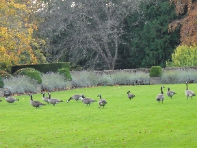 Canadian geese on the back lawn of Hatley Castle