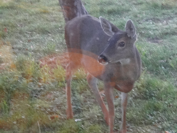 Doe posing near picture window