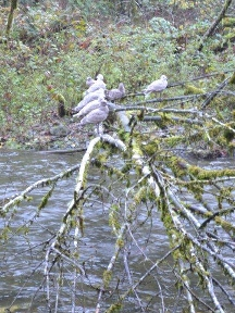 Five gulls in a tree