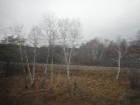 A small stand of birch trees
