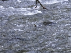 Salmon struggling upstream