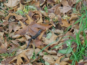 Skink skittering away over leaves