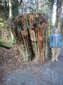 Huge tree stump, taller than Mead