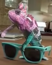 Chameleon changing color to match sunglasses