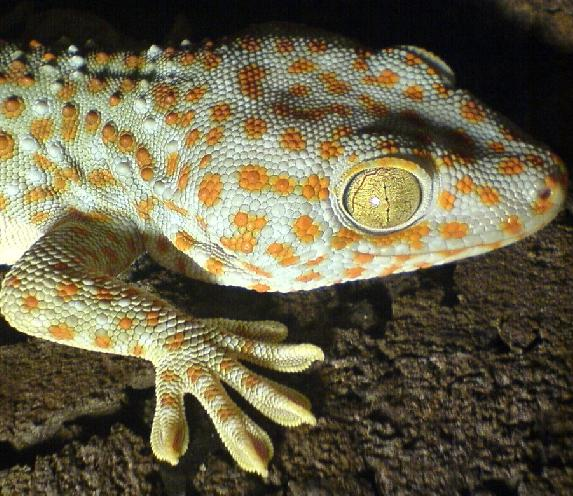 Closeup of a live gecko