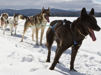 Four harnessed sled dogs