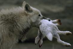 Wolf with hare