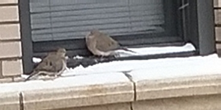 2 mourning doves shelter on a snowy window sill